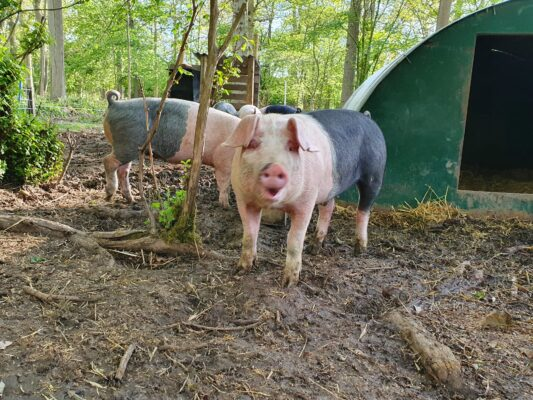 New Supply of Woodland Reared Pork